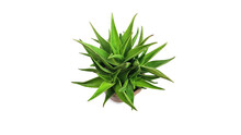 Natural Pictures Of Aloe Vera And Other Agave Type