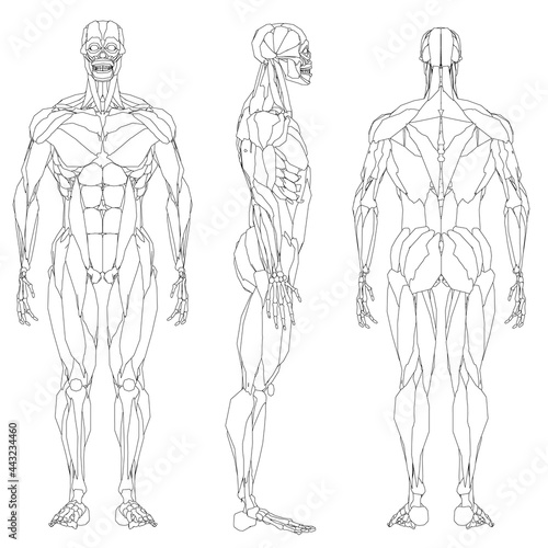 Set with contour of human musculature isolated on white background Fototapeta