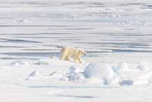 Wild Polar Bear (Ursus Maritimus) Mother And Twin Cubs On The Pack Ice, North Of Svalbard Arctic Norway