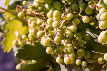 Bunch Of Grape Growing On A Vine.