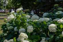 Close-up Landscaped View Of Fresh White Snowball Flowers On A Hydrangea (viburnum Opulus) Bush In A City Park