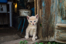 Ginger Kitten Sits In The Barn Doorway. The Cat Looks Out Of The Old Utility Room Near The Wooden Door. Lovely Little Domestic Cat Kitten.