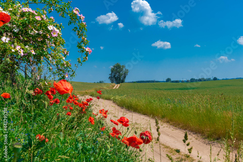 Fotografie, Obraz poppy field in summer