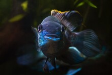 Nannacara Adult Male Turns Front To Stare, Healthy Freshwater Cichlid Fish, Neon Glowing Asian Artificial Breed In Natural Planted Aquarium, Dark Blurred Background Image