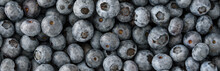 Closeup Of Freshly Picked Duke Variety Blueberries, As A Tasty Superfood Background