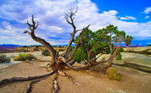 The Twisted Trees Of The Desert, Located In Arches National Park.