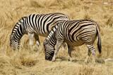 Burchell's (common, plains) zebras (one injured) grazing, Etosha National Park, Namibia