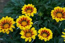 Beautifully Blooming Yellow Gazania Close-up