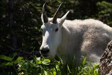 Big Horn Goat Resting