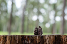 Two Pieces Of Pine Cone In The Forest