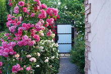 House With Yard And Pink Blooming Roses In A Garden