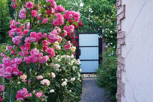 Canvas house with yard and pink blooming roses in a garden