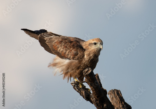 Photo Brahminy Kite perched on a dead tree trunk preparing to take off