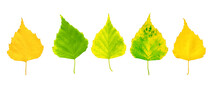 Collection Of Autumn Birch Leaves