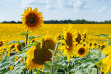Close-up Of Sunflowers In The Field