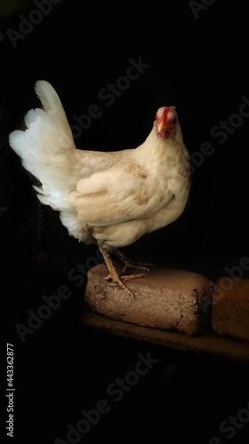 Leinwand Poster white chicken in dark background