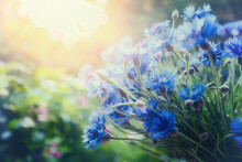 A Bouquet Of Cornflowers (Centaurea) In The Garden On A Summer Sunny Day