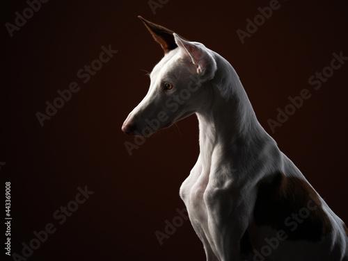 Canvastavla dog on a dark background in the studio