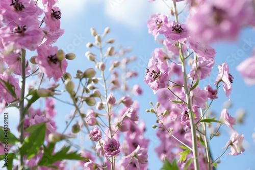 Pink delphinium in the summer garden Fotobehang