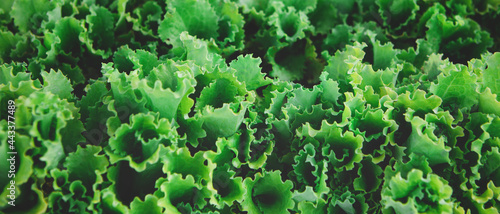 Canvastavla Banner with texture of organic healthy green lettuce plants
