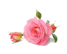 Blooming Pink Rose Bud With Green Leaves On A White Background, Beautiful Flower