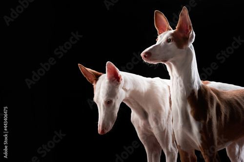 two dogs on a dark background in the studio Fototapet