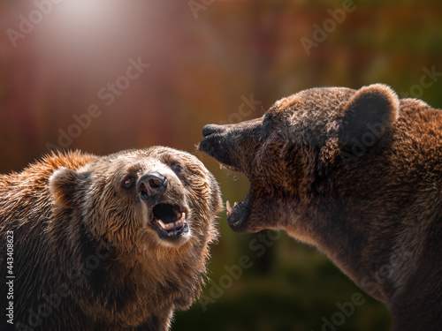 Fototapeta two brown bears Kamchatka Nature Reserve. brown bear.