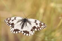 Melanargia Occitanica/Western Marbled White Butterfly In Summer