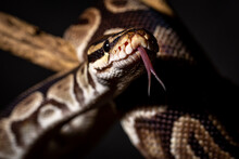 Royal Python  (Python Regius) Studio Photography