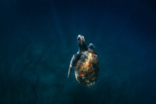 Green Turtle Swimming In Blue Sea