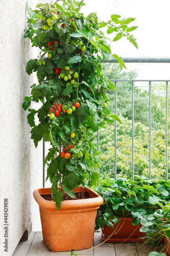 Fotografie, Obraz Tomato plant with green and red tomatoes in a pot and strawberry plants with off