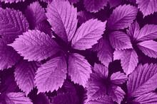 Bright Purple Grape Leaves Close-up. Beautiful Artistic Nature Background