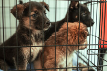 Three Puppies Look Sadly Through The Cage They Are Given To Their New Owners