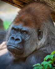 An Animal Portrait Of A Gorilla In Captivity.