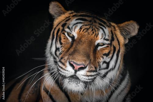 tigre, felino, Fototapet