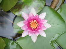 Beautiful Water Lily With Large Leaves In The Pond.