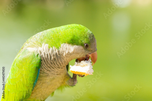 Fototapeta Monk parakeet (Myiopsitta monachus), parrot with a piece of bread on its leg and beak with green background