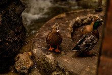 View Of Group Of Cute Mallard Ducks With Variegated Plumage
