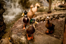 View Of Group Of Mallard Ducks With Variegated Plumage