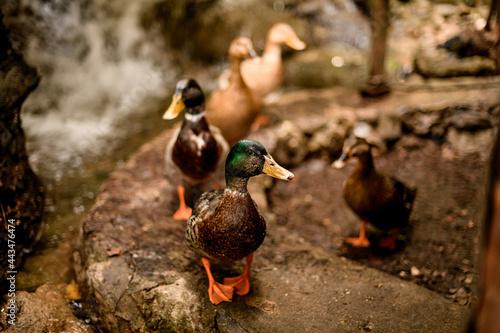 Fototapeta view of group of mallard ducks with variegated plumage