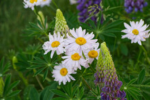 Lupins And Pink Daisies In A Garden