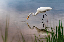 A Great Egret Hunting Food In The Shallow Water