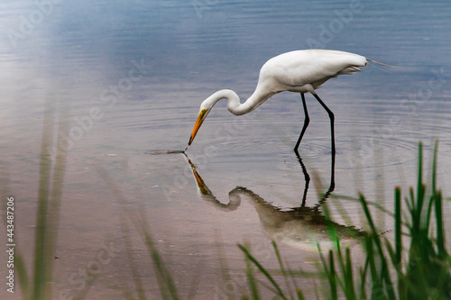 Fotografia A great egret hunting food in the shallow water