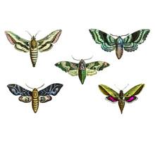 Seth Of Sphinx Moths, Sphingidae, Set Of  Antique Scientific Vector Illustrations.