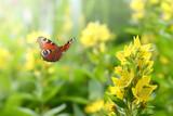 Fototapeta Natura - Schmetterling 896