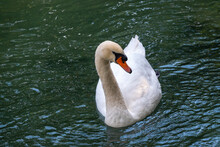A Graceful White Swan Swimming On A Lake With Dark Green Water. The White Swan Is Reflected In The Water