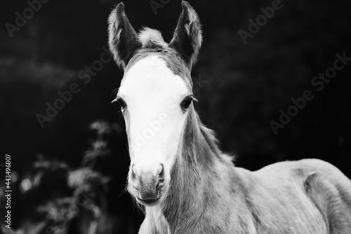 Murais de parede Young horse portrait in black and white shows bald face colt foal close up on livestock farm