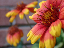 Firewheel Red And Yellow Flowers
