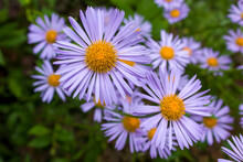Lilac Daisies With Yellow Centers On A Background Of Green Leaves.