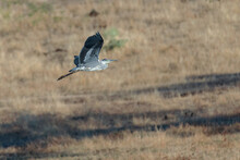 Grey Heron In Its Natural Environment.